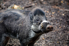 Big Adult Boar Of Visayan Warty Pig (Sus Cebifrons) Is A Critically Endangered Species In The Pig Genus. It Is Endemic To Visayan Islands In The Central Philippines