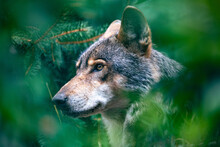 Hunting European Wolf (Canis Lupus Lupus), Very Beautiful Animal And Extremely Dangerous Beast. Potrait In Forest