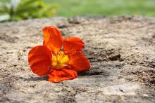 Closeup Of A Bright Orange Nasturtium Flower On A Wood