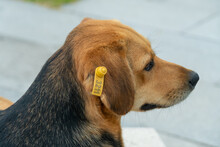 Close-up Of A Serious Beautiful Black And Brown Dog Lying On A Park Bench. Street Dog Without A Breed Is Lying And Resting In A Park In Nature. Dog With A Chip Tag In Its Ear