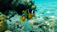 Clown Fish Amphiprion (Amphiprioninae). Red Sea Clown Fish.