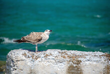Young Gull Standing On A Wall