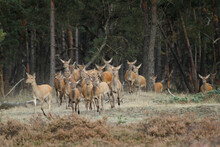 Group Of Deer Running From The Deep Forest Into The Meadow