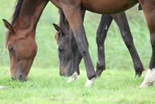 Closeup Shot Of Two Brown Horses Grazing