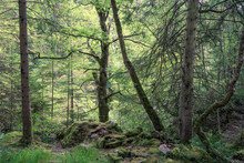 Mixed Woodland Which Forms Part Of The Hermitage (woodland Walking Area) Located Near Dunkeld, Perthshire, Scotland.