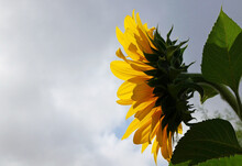 A Sunflower Facing The Sun At The First Light Of Dawn On A Variable And Cloudy Day