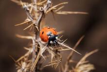 Macro Of A Cute Red Ladybug On A Thornbush