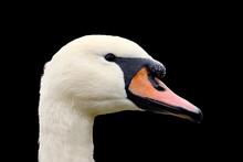 White Swan On Black