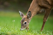 A Close Up Of A Young Female White Tailed Deer Grazing In Green Grass.