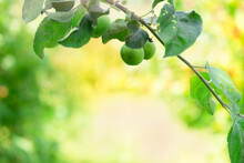 Fresh Nature Background With Green Apples And Yellow Defocused Backdrop. Natural Day Sunlight Above Apple Tree.