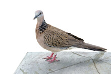 The Pigeon On Broken Concrete Floor In A White Background.