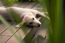 Goldendoodle Enjoying The Outdoors
