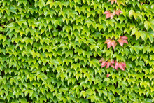 Many Green Leaves Of Wild Wine Climbing Plant Shows Fresh Air And Healthy Environment With Wall Climbing Rank Plant At Rustic Brickwall And Colorful Grapevine Foliage Wallpaper Pattern Green  Facade