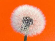 Withered Dandelion - Orange