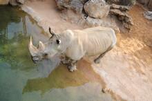 Rhinocéros  Proche De Leau