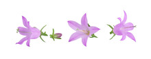 Bell Flowers, Purple, Isolated On A White Background