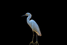 White Heron Isolated On Black Background And Closeup.