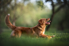Nova Scotia Duck Tolling Retriever Running On The Green Grass In The Middle Of The City Park. Paws In The Air. The Mouth Is Open