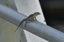 Brown Anole Lizard On A Fence