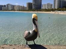 Pelican On The Beach In Miami