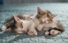 Two Tricolor Kittens Sleep On Top Of Each Other On A Blue Blanket. Bright Bedroom With Pets. Favorite Animals. Close-up, Blurred Background.