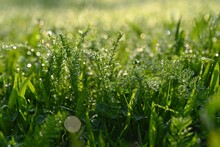 Beautiful Nature Background With Grass And Morning Dew. Sunbeams Of The Morning Sun With Water Drops. Concept For Nature And Environment.