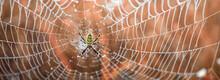 Argiope Bruennichi Yellow-black Spider In Her Spiderweb