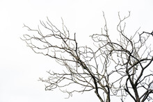 A Dry Tree Isolated On White Background.