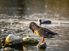 Natural View Of A Mallard Duck On A Rock Against A Lake