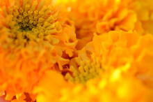 Tagetes Erecta (American Marigolds, African Marigolds). Bright Yellow Flowers Close-up In The Garden.