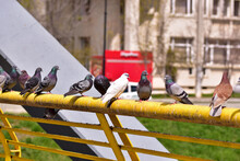 Flock Of Pigeons Perched On A Handrail In The Park