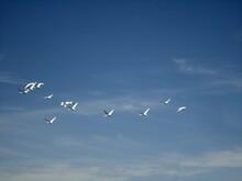 Birds Swans Flying Blue Sky Background
