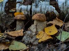 Beautiful Edible Mushroom Leccinum Pseudoscabrum In Autumn Forest. Hazel Bolete.