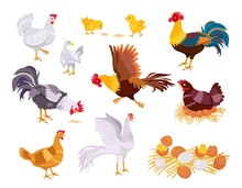 Cartoon Farm Chicken Family, Rooster, Hen And Chicks. Flat Domestic Bird Eat, Run And Sit On Eggs. Nest With Chick. Poultry Grow Vector Set