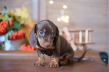 Cute Dachshund Puppy On The Background Of An Autumn Bouquet Of Yellow Leaves