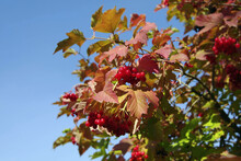 A Branch Of Red Viburnum Berries Against A Blue Sky. Berries, Leaves And Bark Are Used Medicinally. Autumn Sunny Day. Selective Focus With Copy Space.