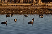Canada Geese Resting On South East City Park Public Fishing Lake In Canyon, Texas In The Panhandle Near Amarillo, Winter Of 2020.