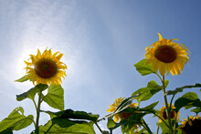 Back Lit Sunflower With Blue Sky Background
