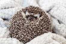 Gray African Pygmy Hedgehog Sleeps On A White Blanket Curled Up In A Ball, Close Up