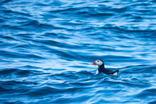 Puffin In The Waves, Ramsey Island, Pembrokeshire