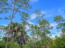 Pine Tree Forest In And Blue Sky Landscape