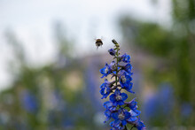 The Bee Flies To The Blue Flower Delphinium. High Quality Photo