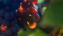Black Grape Branch At Sunset Red Vine Selective Focus. Red Wine Grapes Branch Translucent With Foliage. Vineyards At Sunset. Grape Harvest In Fall, Vineyard. Floral Background 16x9 With Copyspace.