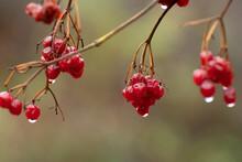 Viburnum Berries In Raindrops In An Autumn
