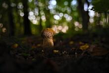 Old Puffball Fungus