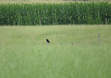 A Cornfield With A Crow