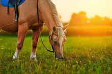 Beautiful Palomino Horse With White Mane Grazes On The Lawn And Eats Green Grass At Sunset