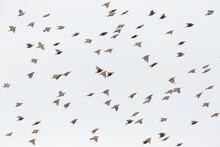 Flock Of Many Isolated Starlings (sturnus Vulgaris) In Flight