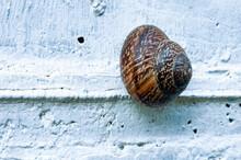 Brown Wild Big Snail Crawling On White Wall
