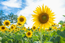 Sunflower In The Abundance Field With Blue Sky Background